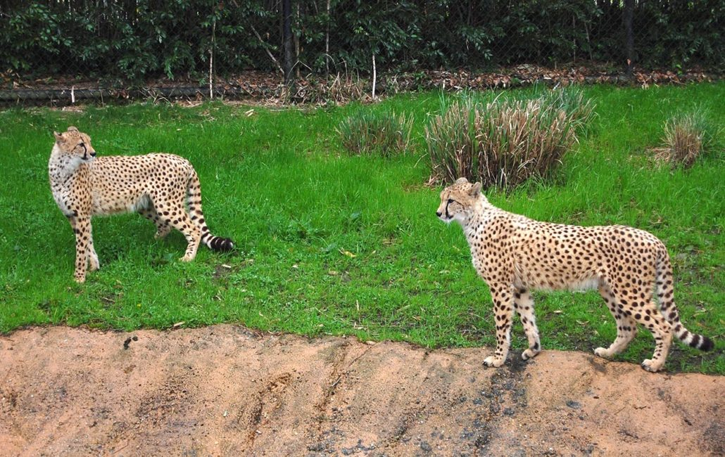 Cheetahs at Virginia Zoo