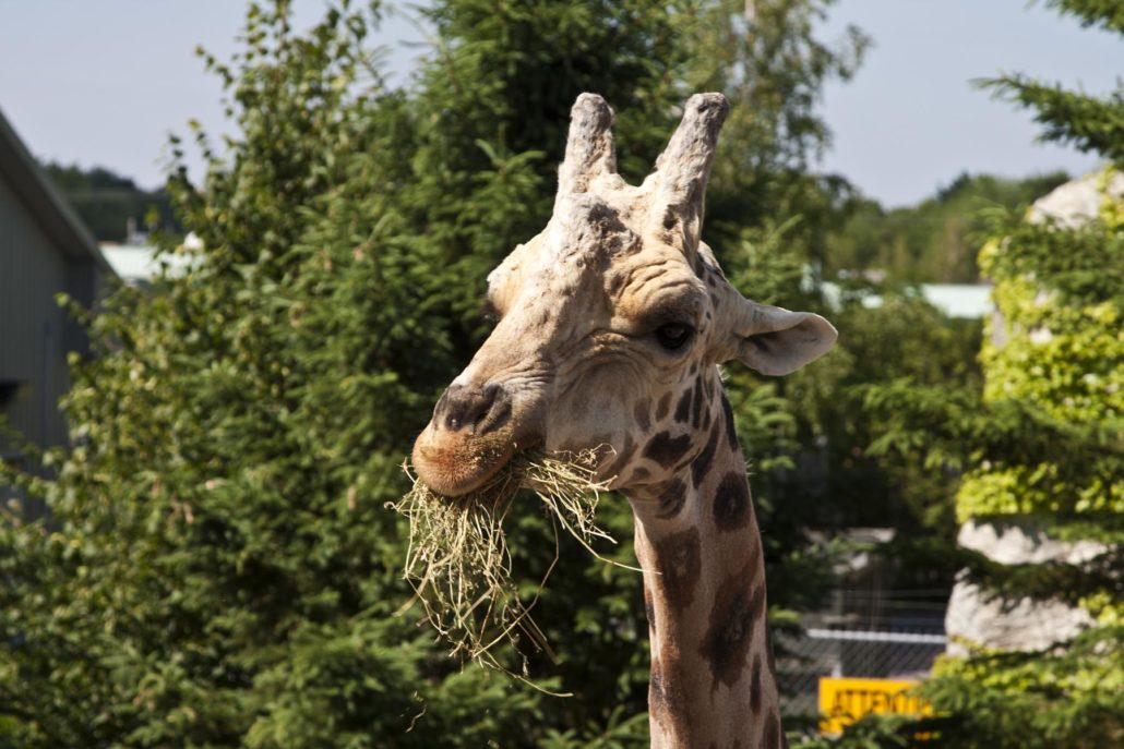 Giraffe Eating at Zoo in Munich