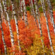 Aspens-and-maples in autumn