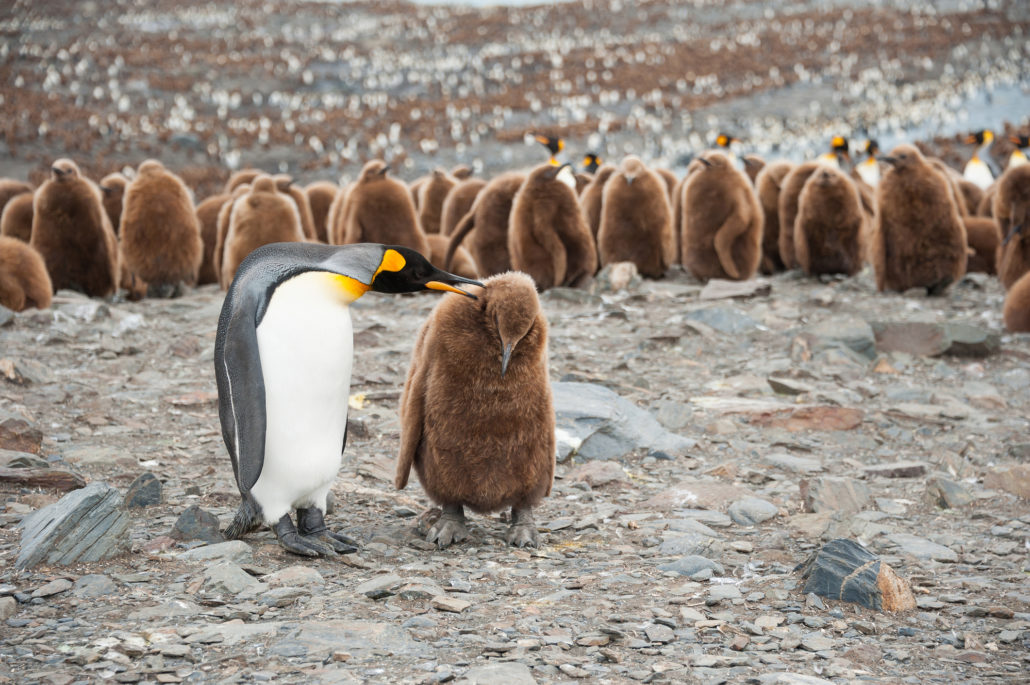 King penguin and chick, with the big colony of King penguin