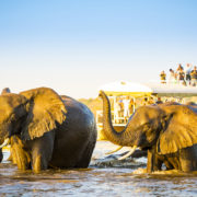 African Elephants swimming across the Chobe River,