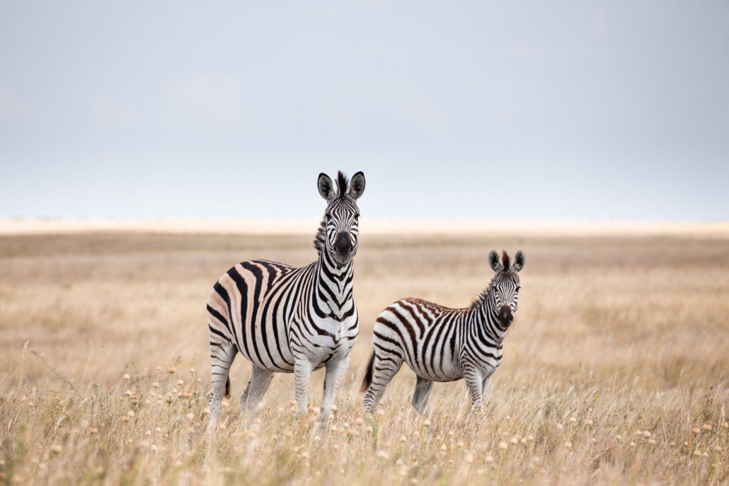 Migration zebras in Makgadikgadi Pans National Park - Botswana
