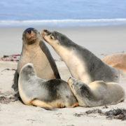 Family of seals at Seal Bay Kangaroo Island South Australia