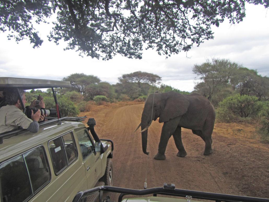 Crossing elephant Tanzania, Africa