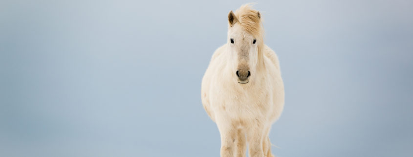 Icelandic Horse in Winter on the snow
