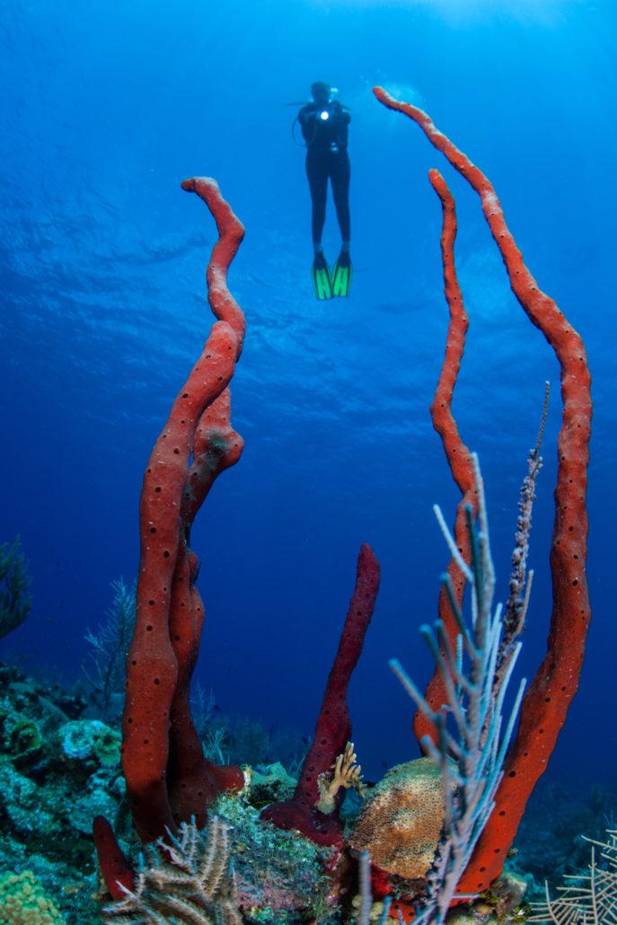 Caribbean Sponges and Scuba Diver