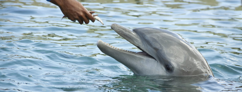 hand feeding dolphins at Florida resort
