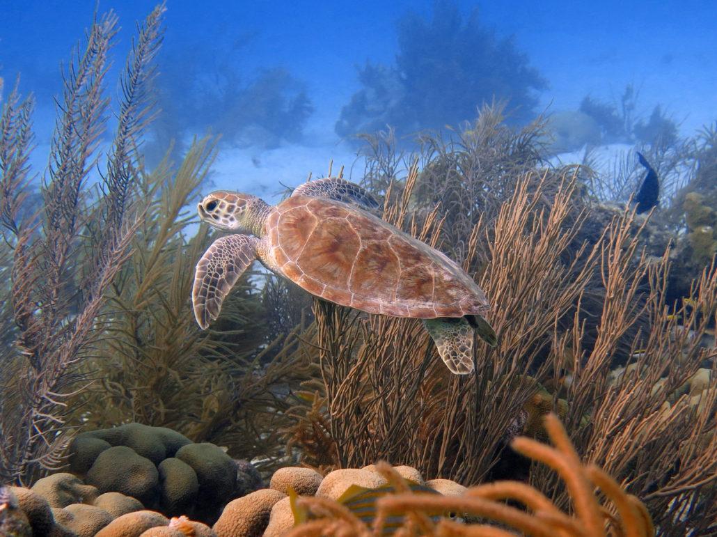 Bonaire Caribbean sea turtle