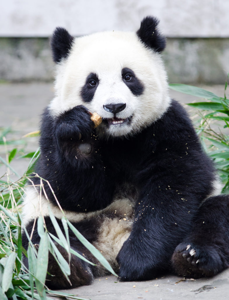 Giant Panda in China reserve