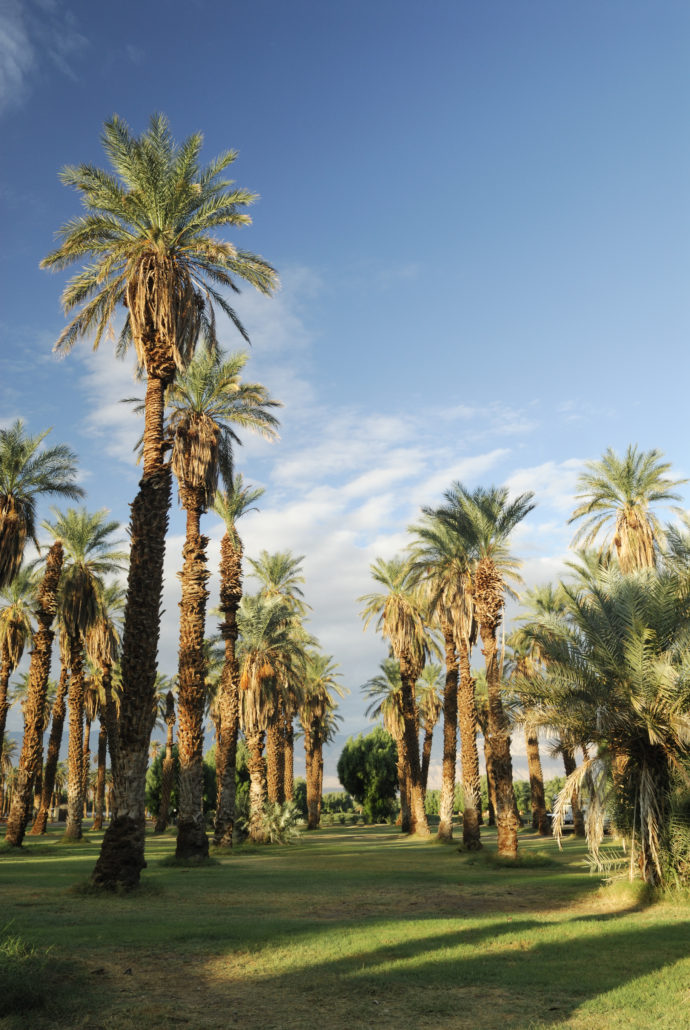 Date palms in an oasis, Death Valley