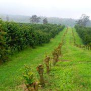 Kona coffee field in Hawaii