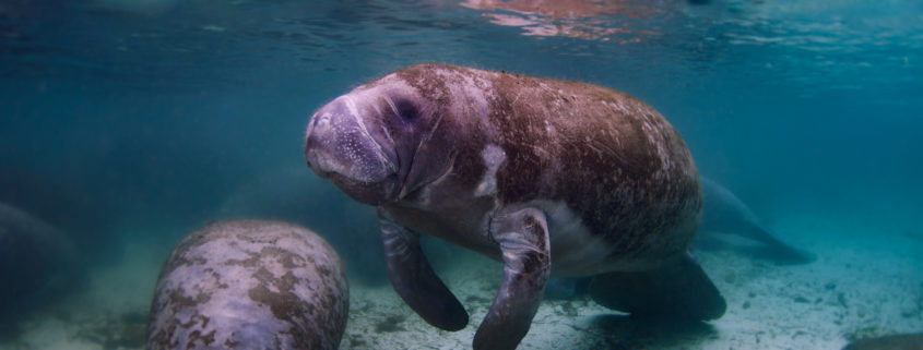 A group of manatees in the Crystal River