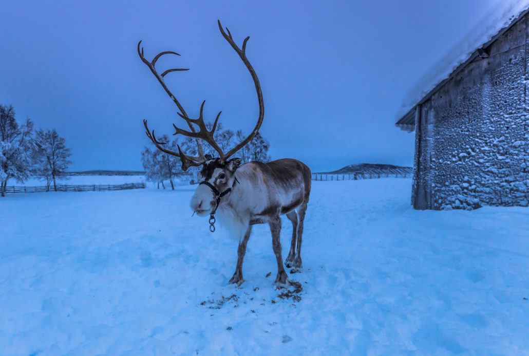 Reindeer in Sami Camp, Sweden