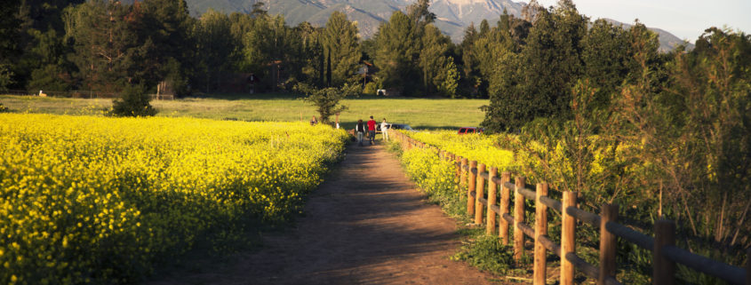 Walkway through yellow mustard toward Topa Topa mountains in spring, Ojai, California, USA