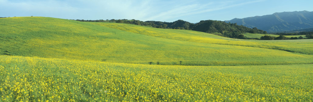 Spring Field, Mustard Seed, near Lake Casitas, Ojai, California