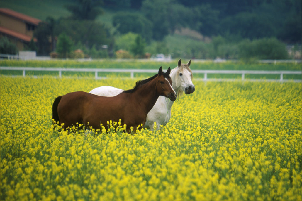 Two horses in mustard field, springtime, Ojai, CA