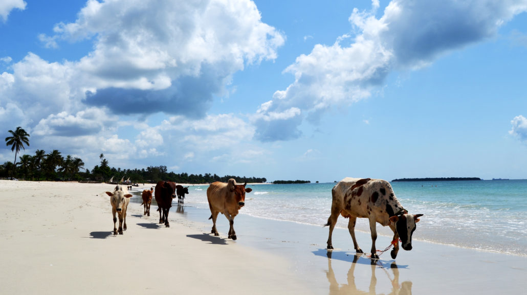 Dar es salaam cows