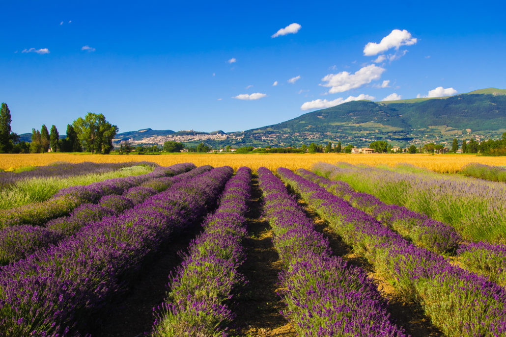 Photo of lavender field in Assisi.