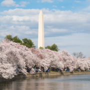 National Cherry Blossom Festival in Washington DC