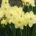 9398 Daffodils on Nantucket, Massachusetts