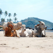 Cow on Tropical beach ,Goa, India