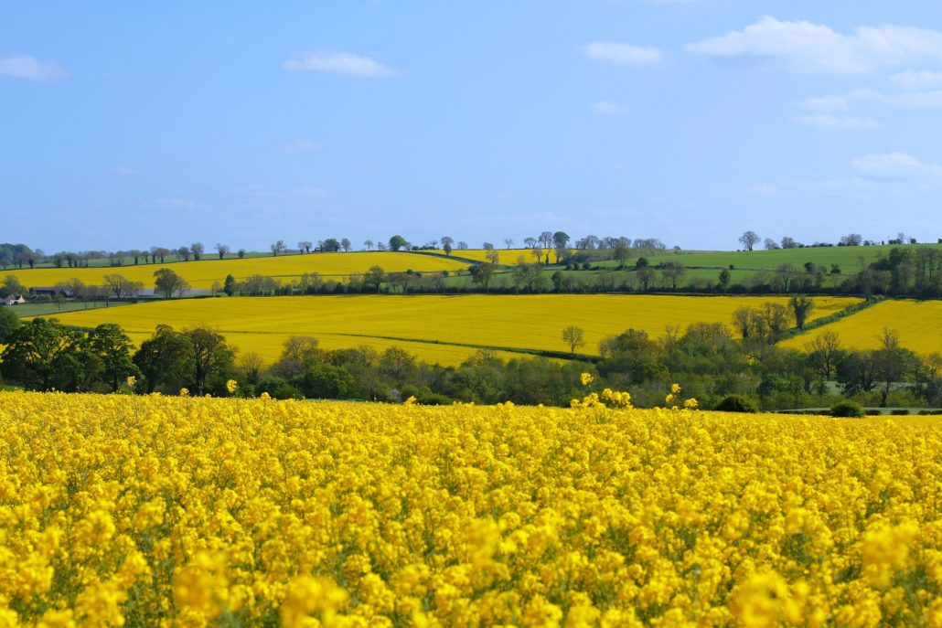 Distant Canola Seed Fields