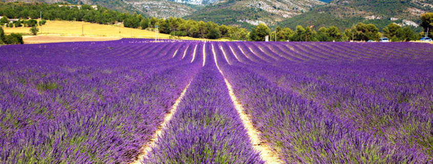 Blooming lavender field. France, Provence
