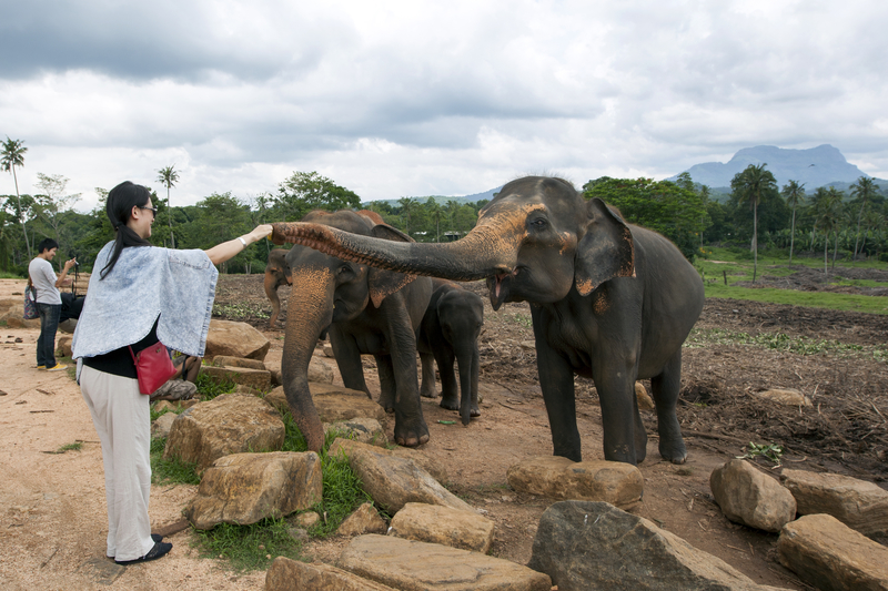 elephants at the Pinnawala Elephant Orphanage (Pinnawela) in Sri Lanka.
