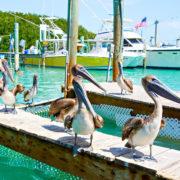 Big brown pelicans in Islamorada, Florida Keys