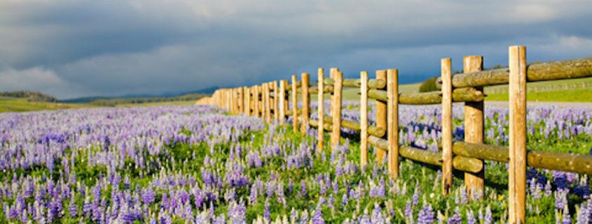 Wildflowers in Wyoming
