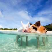 Swimming pigs of Exuma, Bahamas