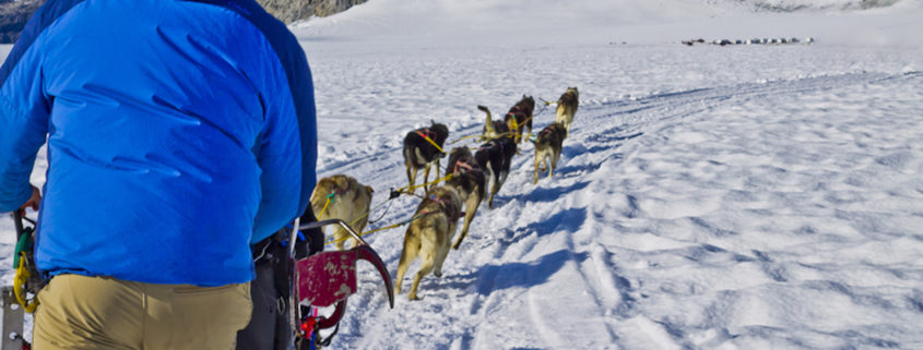 Dog sled team training in Alaska