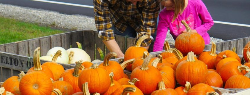 Choosing a pumpkin at Hazelton Orchards in Chester, New Hampshire © Stillman Rogers