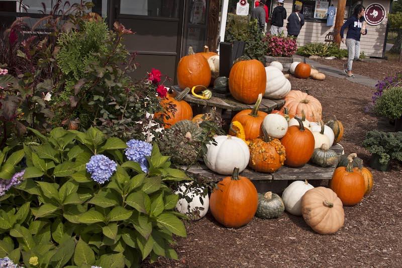 Pumpkins at a farmstand © Stillman Rogers