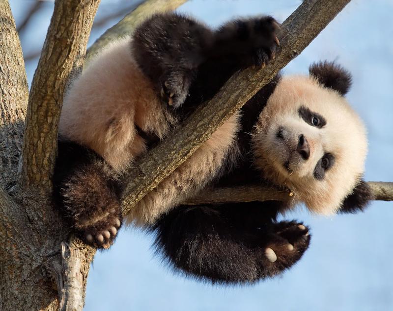 Panda at the Zoo in Washington, D.C. © Howard Nevitt, Jr.   Dreamstime.com