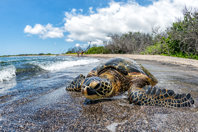 Green Turtle Kaloko Honokohau National Park © Izanbar | Dreamstime.com