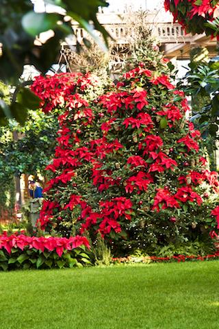 Poinsettia decorations Longwood Gardens © Stillman Rogers