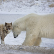 Polar Bear and Canadian Eskimo Dog in Churchill, Manitoba, Canada © Lynn Bystrom | Dreamstime.com