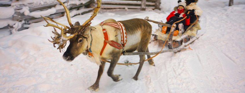 Winter Reindeer sledge racing in Ruka in Lapland in Finland