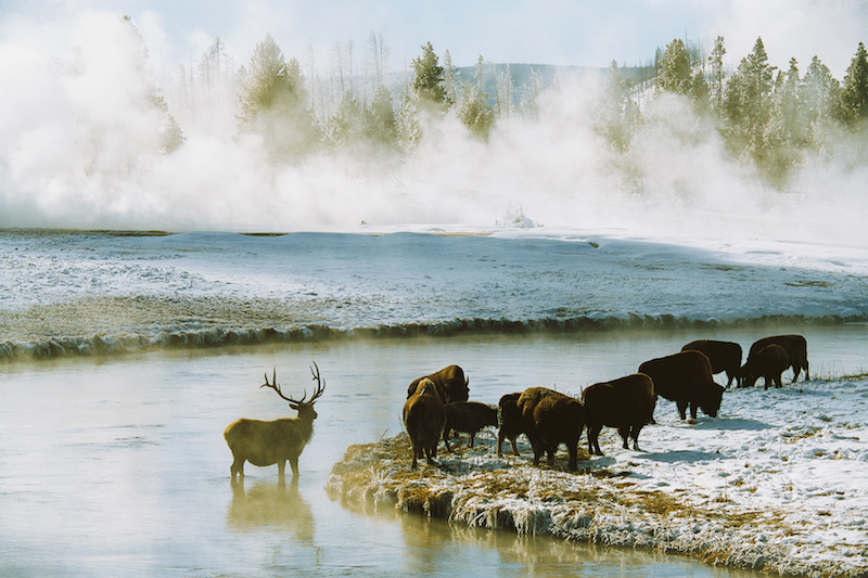 Wildlife in Yellowstone National Park © New Thought Photos