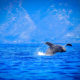 Whale Season at Sheraton Maui @ Courtesy of Island Dream Productions, Sheraton Maui Resort & Spa