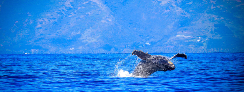 Whale Season at Sheraton Maui @ Courtesy of Island Dream Productions, Sheraton Maui Resort & Spa