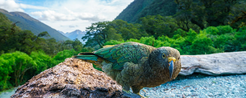 Kea, mountain parrot on a tree trunk, southland, New Zealand © Cbork7 | Dreamstime.com
