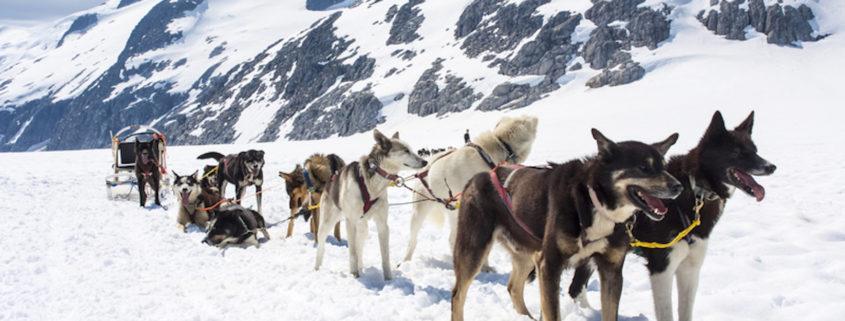 Dogsledding in Alaska © Adfoto   Dreamstime.com