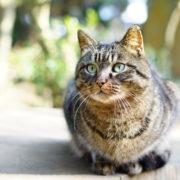 Resident of Cat Island in Japan © Li Gao | Dreamstime.com