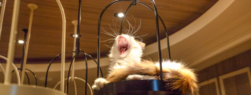 Turkish Angora cat lying down yawning inside of Cat Cafe Photo Credit: Bennymarty | Dreamstime.com