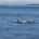 Orca Whales chasing each other , Orcas Island, Seattle © Tab1962 | Dreamstime.com