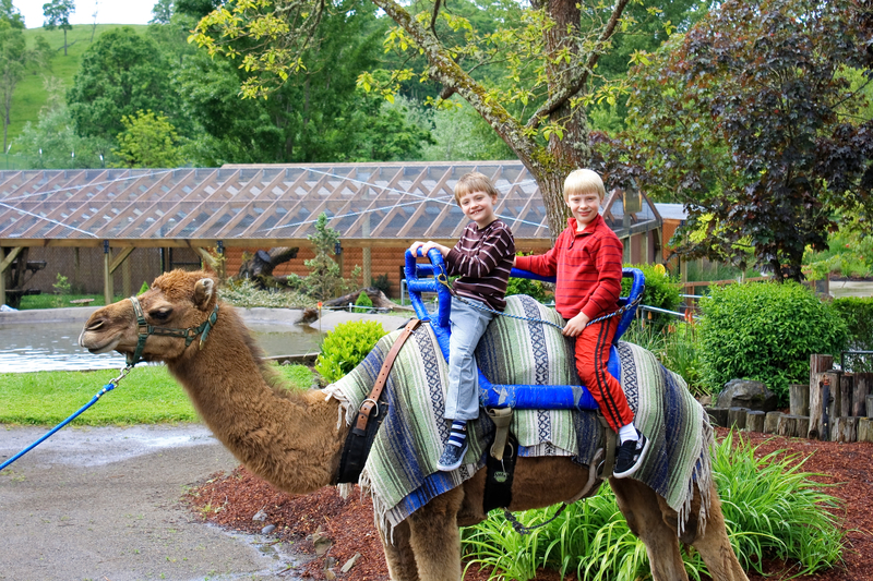 Camel ride at the Oregon Zoo.