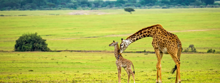 A mother giraffe with her baby. Maasai Mara National Reserve, Kenya.