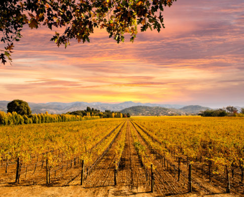 Napa Valley vineyard, California.